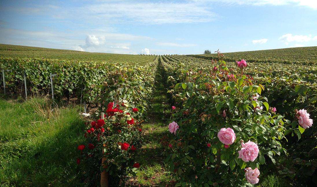 Vignes-et-rosiersh