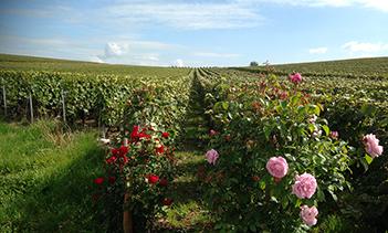 Vignes-et-rosiersl
